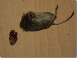 Geköpfte Maus